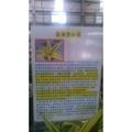 黃金虎尾蘭 -6  吋盆