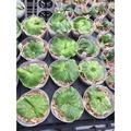 花卉水果苗大批發《皇冠鹿角蕨》約3.5寸盆