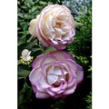 [粉白色大玫瑰花盆栽] 8吋盆活體盆栽 多年生 四季開花 半日照佳