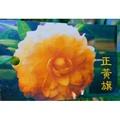 一禪種苗園-重瓣的黃色茶花<正黃旗/黃玫瑰/第一道曙光>茶花苗-5吋盆