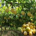 水果苗 **  黃蜜百香果1入4吋50公分