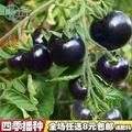 《種子花園》【黑珍珠番茄種子】四季播黑色小番茄籽矮生櫻桃番茄小西紅柿種子廠家直銷