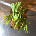十二田植栽 侏儒皇冠 鹿角蕨P. Dwarf coronarium