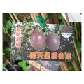 水果苗.樹苗 ~ 滿天星百香果(嫁接苗) ~ 4吋盆/高20-30公分/新品種<花森林植物的家>