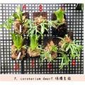 十二田植栽 聖誕年終優惠 3組3500元 侏儒皇冠 爪哇 飛馬 銀哇 DW 三角象 皇冠 鹿角蕨