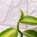 斑葉梵尼蘭Vanilla-斑葉香草莢/歐洲香草/香料植物/香草盆栽/香草茶/乾燥花