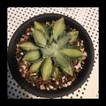 Agave姬怒雷神白中斑#瓏舌蘭#多肉植物