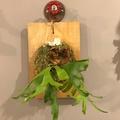 泰國侏儒皇冠鹿角蕨