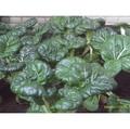 【日本進口蔬菜種子】迷你奶油白菜~約三週就可採收的速成蔬菜!
