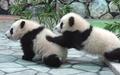 供像繪畫一樣的墻紙海報(能剥下來的封條式)嬰兒大熊貓的兄弟大熊猫PANDA大熊貓人物黑PNDA-008W2(寬開603mm*376mm)建築使用的墻紙+耐候性塗料室內裝飾 real-inter
