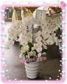 【台北兩情相悅花坊】喪禮素雅白色盛開蘭花盆栽  台北市網路人氣花店