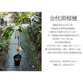 心栽花坊-金枕頭榴槤/4吋/熱帶水果之王/嫁接苗/水果苗/售價3600特價3000