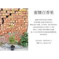 心栽花坊-蜜糖百香果/4吋/嫁接苗/水果苗/售價160特價140