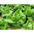 【義大利進口蔬菜種子】綠寶石蘿蔓萵苣