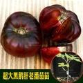 (種子花園)傳家寶番茄 黑鵝肝番茄苗 春播蔬菜番茄種子西紅柿苗盆栽陽臺綠植熱賣