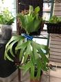 菲律賓皇冠鹿角蕨 蛇木板