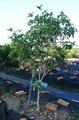 七里香-月橘 桂花樹 羅漢松 景觀樹 盆景