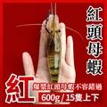 鎮店招牌♥段泰國蝦精選、爆漿紅頭母蝦,愛吃蝦頭的饕客不容錯過(1斤裝)★全店滿499免運