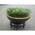 桌上型組合盆栽(羅漢松)含木座