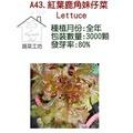 【蔬菜工坊】A43.紅葉鹿角妹仔菜種子(日本進口新品種鹿角A菜)