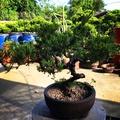 盆栽 松柏🎍樣式多