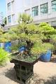 赤松 大型盆栽