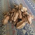 大葉桃花心木 18個 乾燥 果實 種子