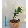 **大自然盆栽園** 雀舌羅漢松--療癒系列小品盆景--53