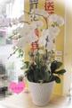 高雄花店(上禾花坊鮮花氣球館)追思喪禮用弔唁弔慰7株白蘭花盆栽~實品比照片更美