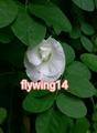 《種子》新鮮種子 -白色複瓣蝶豆花種子,重瓣蝶豆花種子
