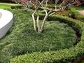 【海灣園藝】玉龍草 日本庭園中最常見的草皮,非常乾淨,不用修剪,又耐陰