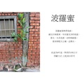 心栽花坊-波羅蜜/波蘿蜜/8吋/實生苗/水果苗/售價250特價200