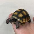 象龜陸龜模型 蘇卡達 輻射龜 紅腿象龜 白子蘇卡達