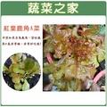 【蔬菜之家】A43.紅葉鹿角妹仔菜種子1500顆 (日本進口新品種鹿角A菜)