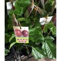 一禪種苗園-甜甜多汁<甜滿天星百香果>水果苗-4.5吋盆