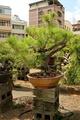 赤松 中型盆栽