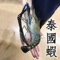 ㊣盅龐水產 ◇泰國蝦6/7◇淨重600g±5%g/隻 ◇泰國手臂蝦  熊蝦 草蝦 很大 團圓