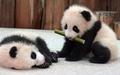 供像繪畫一樣的墻紙海報(能剥下來的封條式)嬰兒大熊貓的兄弟大熊猫PANDA大熊貓人物黑PNDA-009W2(寬開603mm*376mm)建築使用的墻紙+耐候性塗料室內裝飾 real-inter