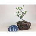 《火山石-翠米茶》園藝|盆栽|盆景|松柏