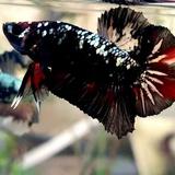 Harga Ikan Cupang Avatar Terbaru Desember 2020 Biggo Indonesia