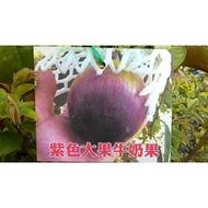 花花世界_水果苗--紫色大果牛奶果(嫁接苗)--星蘋果/4.5吋盆/高30-45公分/Ts