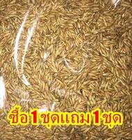 ซื้อ 1ชุดแถม 1ชุด เมล็ดไผ่ซางหม่น Dendrocalamus sericeus ไผ่นวลราชินี ไผ่ ไม้ไผ่ Bamboo พืชตระกูลหญ้า หญ้ายักษ์ พืชเศรษฐกิจ สายพันธุ์ไผ่ เครื่องจักรสาน ตกแต่งสวน ต้นไม้มงคล เสริมมงคล 50 เมล็ดแถม 50 เมล็ด