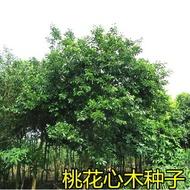 熱銷林木種子新采桃花心木種子 桃花芯木種子榔色木種子南洋芯木種子/種子