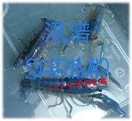 【汛潽觀賞蝦繁殖場】藍螯/佛螯/佛羅里達螯蝦 (批發區)