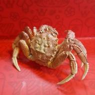 【扭蛋 轉蛋】毛蟹 - 奇譚 絕版 生物公仔 日本自然生物 超細膩 超真實 動物 日本限定
