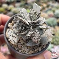 Kalanchoe rhombopilosa พายสวรรค์ ไม้อวบน้ำ กุหลาบหิน Cactus&Succulent