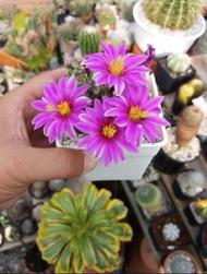กระบองเพชร แคคตัส (Cactus) แมมชูแมน (Mammillaria Schumannii)