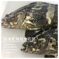 【蝦目漁水產】台灣養殖龍虎石斑  約600克左右/隻
