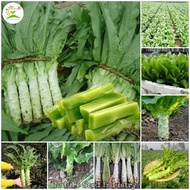 200 pcs Seeds/bag High Quality Asparagus Lettuce Seeds Organic Vegetable Seeds for Gardening Estrosa Lettuce Seeds for Planting Vegetables Real Plants Potted Live Plants Bonsai Plants for Sale (High Germination Rate Easy To GrowAvailable In Philippines)