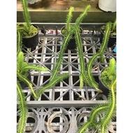 一禪種苗園-翠綠<針葉石松>蕨類植物-3吋盆